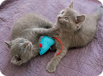 Russian Blue Kitten for adoption in Chicago, Illinois - Sonoma and Simone