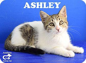 Domestic Shorthair Kitten for adoption in Carencro, Louisiana - Ashley