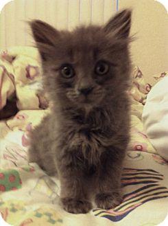 Domestic Mediumhair Kitten for adoption in Tallahassee, Florida - Olivia