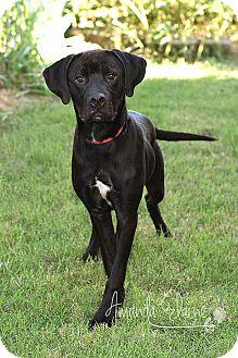 Labrador Retriever Mix Puppy for adoption in Pilot Point, Texas - JAGER