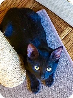 American Shorthair Kitten for adoption in Horseshoe Bay, Texas - Luna