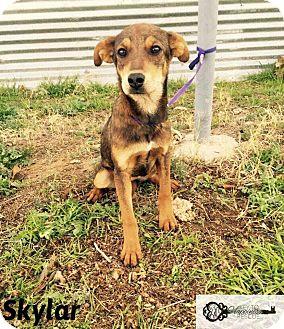 Labrador Retriever Mix Puppy for adoption in DeForest, Wisconsin - Shylar