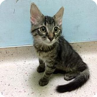 Domestic Shorthair Kitten for adoption in Janesville, Wisconsin - Kovu