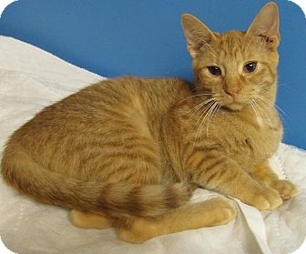 Domestic Shorthair Cat for adoption in Covington, Kentucky - Rainbow