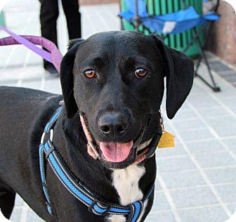 Labrador Retriever/Beagle Mix Dog for adoption in Richmond, Virginia - Ebony