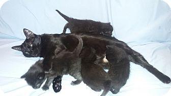 Domestic Shorthair Kitten for adoption in Parkton, North Carolina - Four tiny black kittens