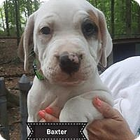 Adopt A Pet :: Baxter - Allentown, PA