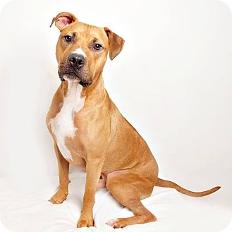 Boxer/American Pit Bull Terrier Mix Dog for adoption in Columbus, Ohio - Joey