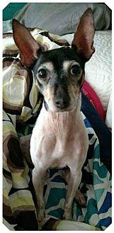 Italian Greyhound Dog for adoption in Akron, Ohio - Ivy