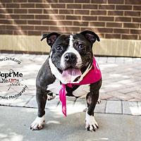 American Staffordshire Terrier Mix Dog for adoption in Charlotte, North Carolina - Doris
