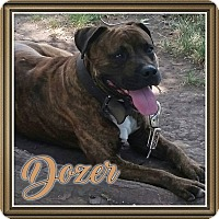 American Pit Bull Terrier Dog for adoption in Des Moines, Iowa - Dozer