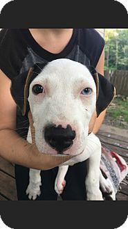 Boxer Mix Puppy for adoption in Grand Rapids, Michigan - Oswald