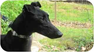 Greyhound Dog for adoption in Gerrardstown, West Virginia - Dr Clyde
