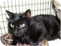 Domestic Shorthair Cat for adoption in Brooksville, Florida - Eddy