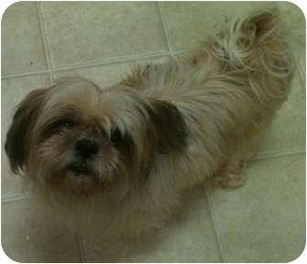 Shih Tzu Mix Dog for adoption in El Dorado Hills, California - Duchess