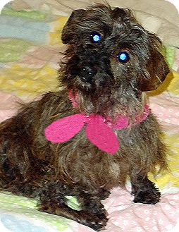 Schnauzer (Miniature)/Dachshund Mix Dog for adoption in Alabaster, Alabama - Sissy: Schnauzer/Dachsund mix