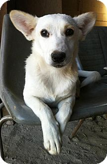 German Shepherd Dog Mix Puppy for adoption in El Cajon, California - LOLITA