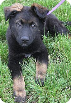 Husky/German Shepherd Dog Mix Puppy for adoption in Mt. Prospect, Illinois - Merlot