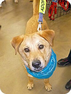 Labrador Retriever Mix Puppy for adoption in Kimberton, Pennsylvania - Matthew