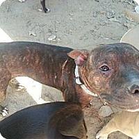 Adopt A Pet :: Justice - New orleans, LA