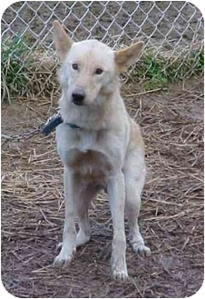 Shepherd (Unknown Type) Mix Dog for adoption in Cambridge, Ohio - Doe
