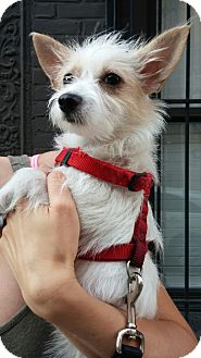 Maltese/Chihuahua Mix Dog for adoption in Long Beach, New York - Leo