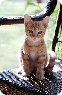 Domestic Shorthair Kitten for adoption in Huntsville, Alabama - Harry
