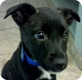 Shepherd (Unknown Type) Mix Puppy for adoption in Sunnyvale, California - Annie