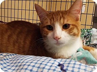 Domestic Shorthair Kitten for adoption in Grants Pass, Oregon - Pumpkin