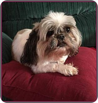 Shih Tzu Dog for adoption in Hampton, Virginia - Gidget