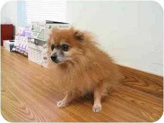 Pomeranian Mix Dog for adoption in Chesapeake, Virginia - Buddie