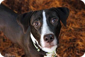 Labrador Retriever Mix Dog for adoption in Portland, Oregon - Melly