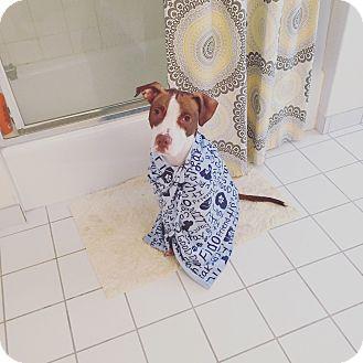 American Staffordshire Terrier/Vizsla Mix Dog for adoption in Bronx, New York - Buddy