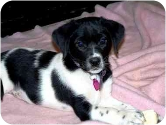 Spaniel (Unknown Type) Mix Puppy for adoption in Pittsboro/Durham, North Carolina - Lucy