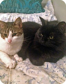 Domestic Longhair Cat for adoption in Rochester, New York - Picnic and Bubbles