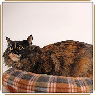 Domestic Longhair Cat for adoption in Glendale, Arizona - Carnivale