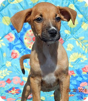 Boxer/Retriever (Unknown Type) Mix Puppy for adoption in Williamsport, Maryland - Tacoma (6 lb) Video!