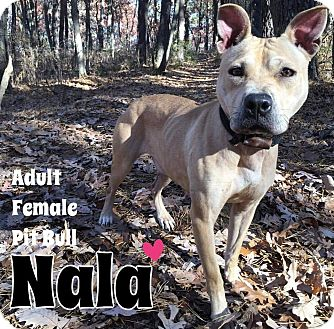 Pit Bull Terrier Mix Dog for adoption in Jackson, New Jersey - Nala