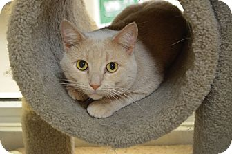 Domestic Shorthair Cat for adoption in Evansville, Indiana - Mikey