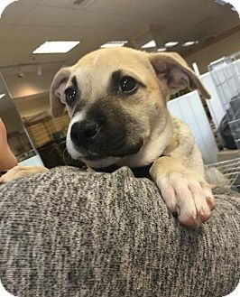 Shepherd (Unknown Type) Mix Puppy for adoption in Chico, California - Nathan