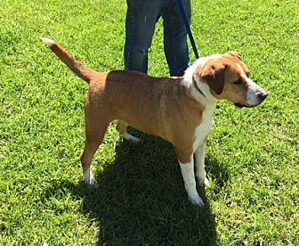 Labrador Retriever Mix Dog for adoption in Madisonville, Louisiana - Annie