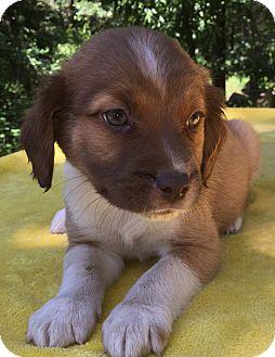 Nova Scotia Duck-Tolling Retriever/Boxer Mix Puppy for adoption in SOUTHINGTON, Connecticut - Anna