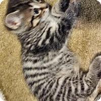 Adopt A Pet :: Mb litter - Skittles - Livonia, MI