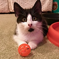 Domestic Shorthair Kitten for adoption in Marlton, New Jersey - Donnie (AKA Batman)