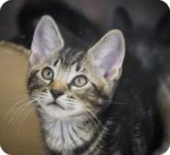 Domestic Shorthair Cat for adoption in Dallas, Texas - Easter