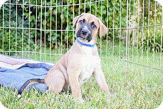 Boxer Mix Puppy for adoption in Alameda, California - Ludo