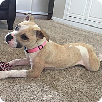 American Pit Bull Terrier/Boxer Mix Puppy for adoption in Fort Mill, South Carolina - ?