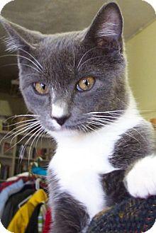 Domestic Shorthair Cat for adoption in Alturas, California - Tarzan