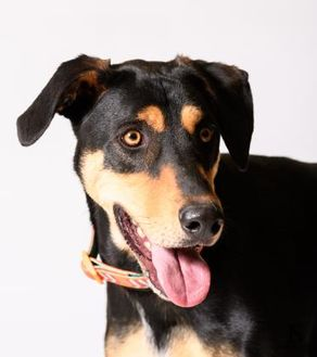 Mixed Breed (Large) Mix Dog for adoption in Georgetown, Texas - Gomer