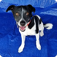 Parson Russell Terrier/Terrier (Unknown Type, Medium) Mix Dog for adoption in Peoria, Arizona - MILKYWAY